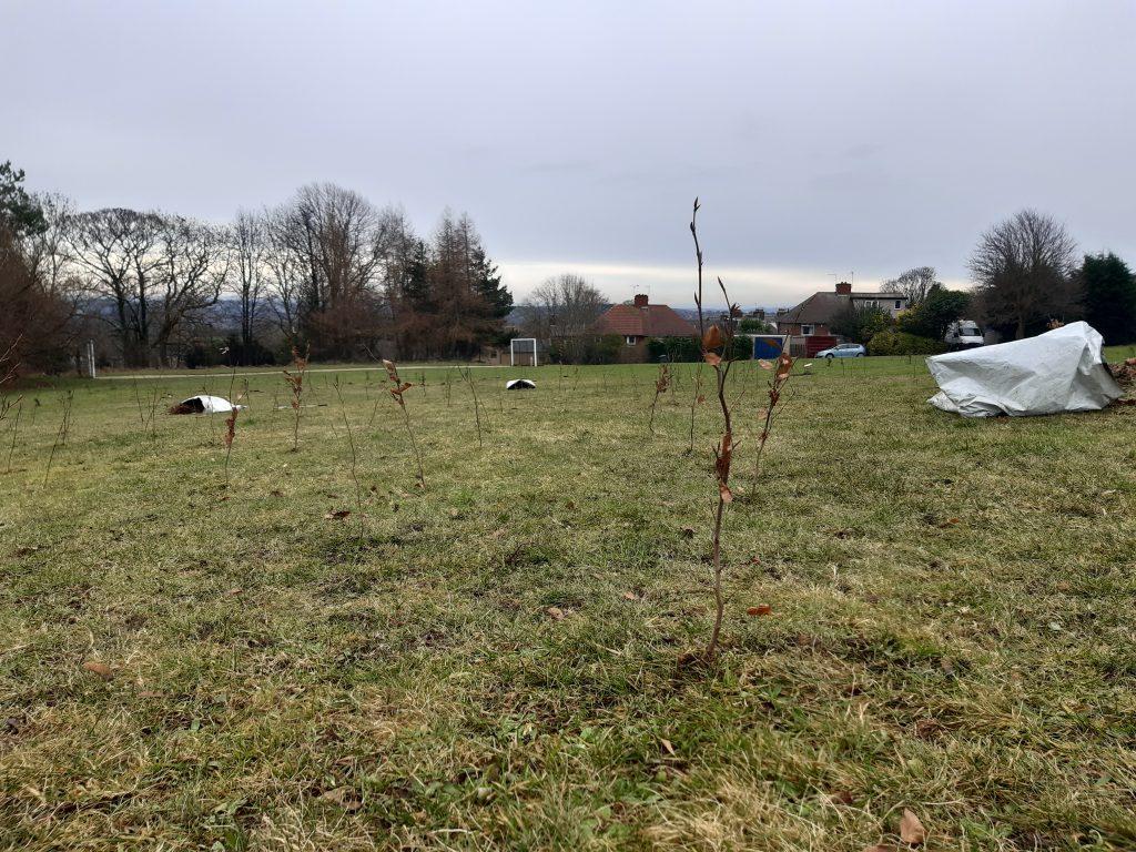 Grenoside park Whip planting