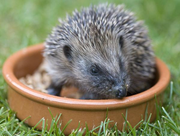 Photograph of a hedgehog sat in a feeding bowl.