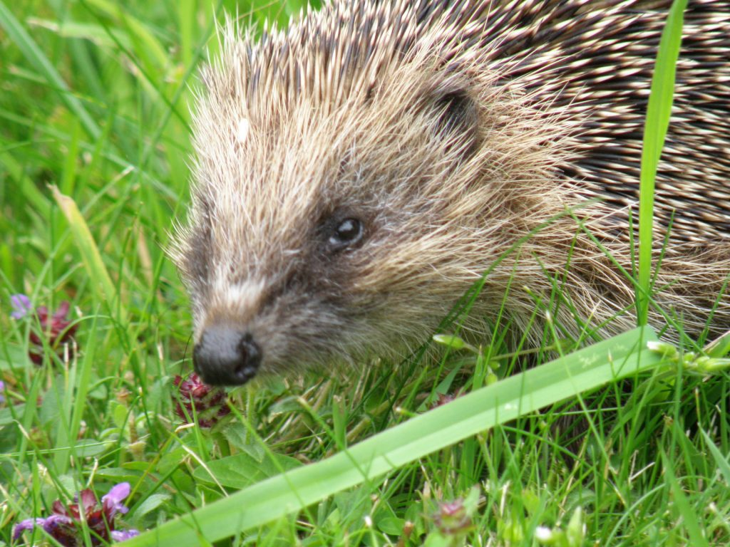 Photograph of a hedgehog in the grass.