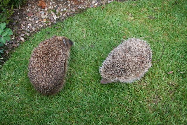 A blonde and brown hedgehog