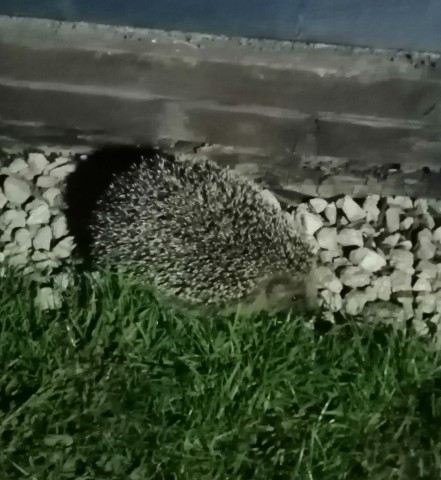 A hedgehog in a garden