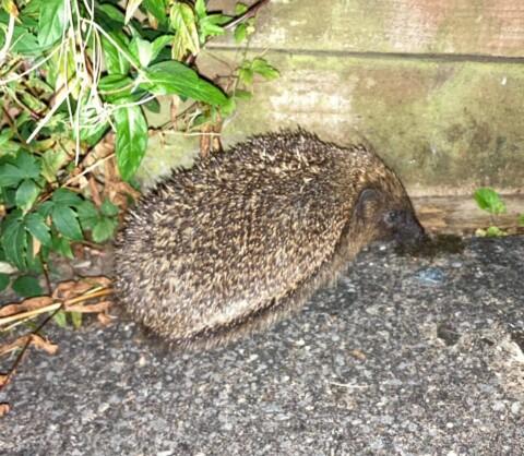 Hedgehog next to the fence
